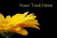 充满活力的湿黄色大丁草 库存图片