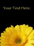 充满活力的湿黄色大丁草 免版税库存图片