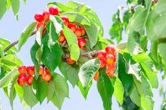 充满活力的白色更加多雨的樱桃莓果束 免版税库存照片