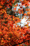 充满活力的红色叶子有自然背景 免版税库存图片