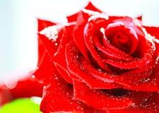 充满活力的红色玫瑰关闭 免版税库存图片