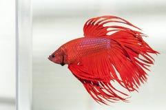 充满活力的红色Betta Splendens鱼 免版税库存照片