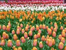 充满活力的颜色开花的同色而浓淡不同的郁金香花在Keukenhof庭院,荷兰里 库存图片