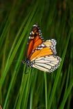 充满活力的黑脉金斑蝶 库存图片