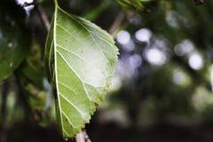 充满活力的绿色三角叶杨树叶子 免版税库存照片