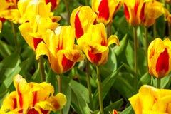 充满活力的黄色和红色郁金香用水在雨明信片以后滴下,花圃 免版税库存照片