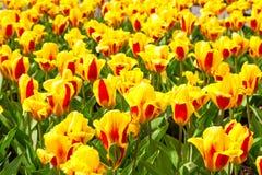 充满活力的黄色和红色郁金香用水在雨明信片以后滴下,花圃 免版税库存图片