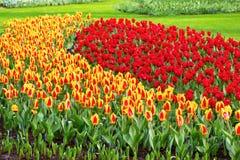 充满活力的黄色和红色郁金香用水在雨明信片以后滴下,花圃 库存图片