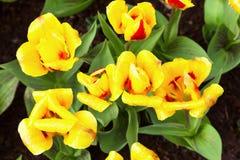 充满活力的黄色和红色郁金香用水在雨以后滴下,花圃顶视图 库存图片