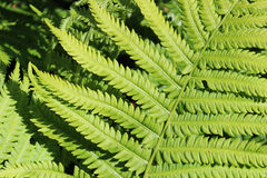 充满活力的绿色蕨叶子 免版税图库摄影