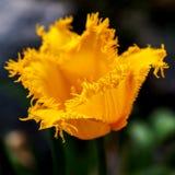 充满活力的黄色郁金香有绿色庭院背景 特写镜头 免版税库存照片