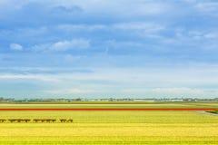 充满活力的黄色黄水仙和红色郁金香花田,蓝色多云天空 免版税库存照片