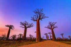 充满活力的猴面包树 免版税图库摄影