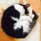 先生 猫 免版税库存图片