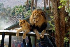 先生& Lion Just Chilling夫人在圣地亚哥 免版税库存照片