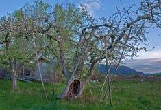 先驱被种植的苹果树-首先在华盛顿州 免版税库存图片