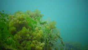 光合作用在海,水下的风景 在水下的岩石的绿色,红色和褐藻 股票视频