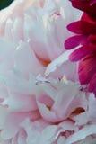 光和黑暗的桃红色牡丹 免版税库存图片