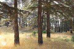 光在雪松森林里 免版税库存照片