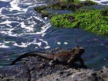 光彩的鬣鳞蜥 库存照片