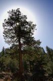 光晕结构树 免版税库存照片