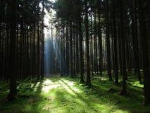 光束到云杉的森林里 图库摄影