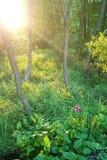 光束在有一朵桃红色花的森林里 免版税库存图片