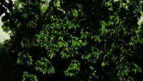 光束戏剧通过在风的桦树叶子 美好的本质 股票视频