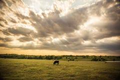 光柱在母牛的 免版税库存图片