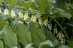 光滑的所罗门` s封印植物群 免版税库存照片
