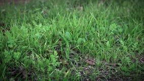 光滑的蛇的慢动作在滑行的草的 探索森林地板 影视素材
