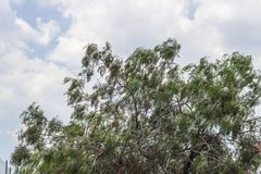 光玉髓樱桃树宽射击与阴暗天气天空的在伊兹密尔在土耳其 库存图片