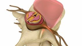 光盘椎间的下垂