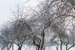 光秃和hoarfrosted苹果树用对此的冷冻红色苹果 免版税图库摄影