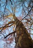 光秃的冬天platane,背景 免版税库存照片