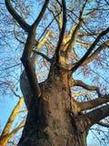 光秃的冬天platane,背景 库存图片