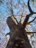光秃的冬天platane,背景 免版税图库摄影