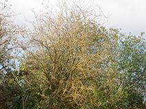 光秃的分支树背景没有叶子秋天天气阴云密布 免版税库存图片