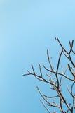光秃的树枝有明亮的清楚的蓝天背景 美好的自然凋枯的不生叶的枝杈木本植物形状 免版税库存图片