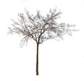 光秃的树被隔绝在白色 图库摄影