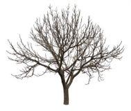 光秃的树被隔绝在白色 免版税库存照片