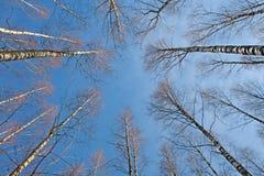 光秃的桦树上面  库存照片