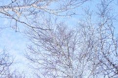 光秃的桦树分支 库存图片
