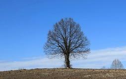 光秃的椴树或者椴树属cordata,在一处最低纲领派冬天风景在棕色被犁的土地和蓝天之间 库存图片