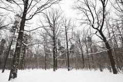 光秃的橡木和杉树在冬天森林里 免版税图库摄影