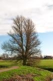 光秃的橡木在冬天 库存图片