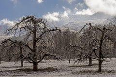 光秃的苹果树在一座积雪的山下站立 库存图片