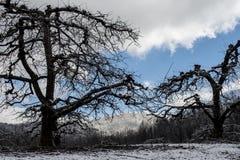 光秃的苹果树在一座积雪的山下站立 图库摄影