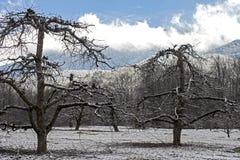 光秃的苹果树在一座积雪的山下站立 库存照片
