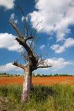 光秃的苹果树 免版税库存图片